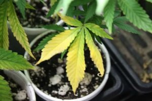 Cannabis leaf with nutrient deficiency