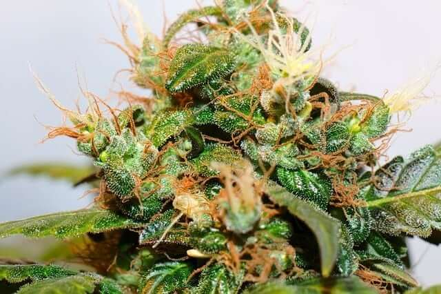 Cannabis ready to harvest