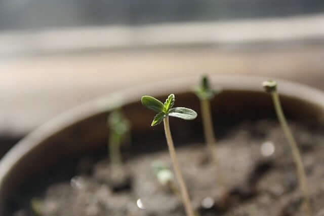 Cannabis seedling
