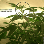 Cloning Weed Plants