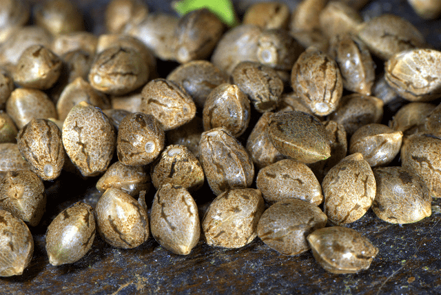 Healthy cannabis seeds