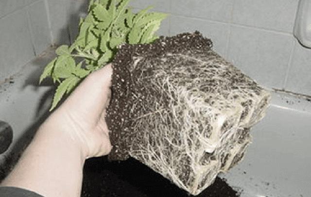 Transplanting a cannabis plant