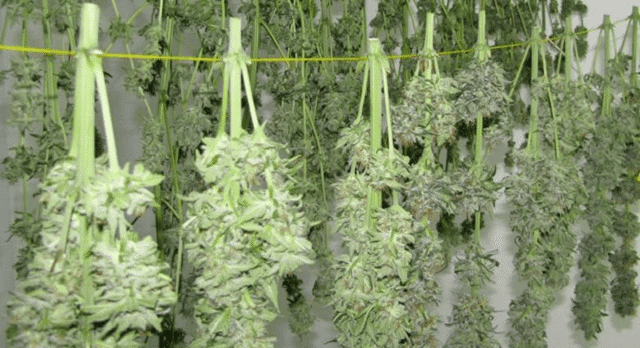 Weed hung for drying