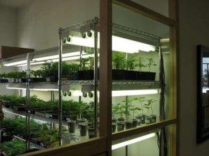 best cloning gels for weed