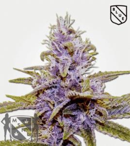 Blue Dream Marijuana - MSNL