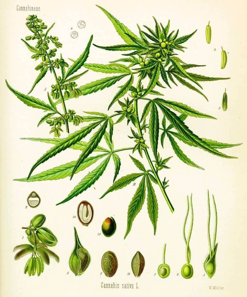 Cannabis sativa botanical illustration