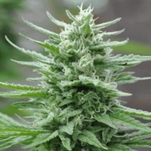 Green Crack cannabis - AMS
