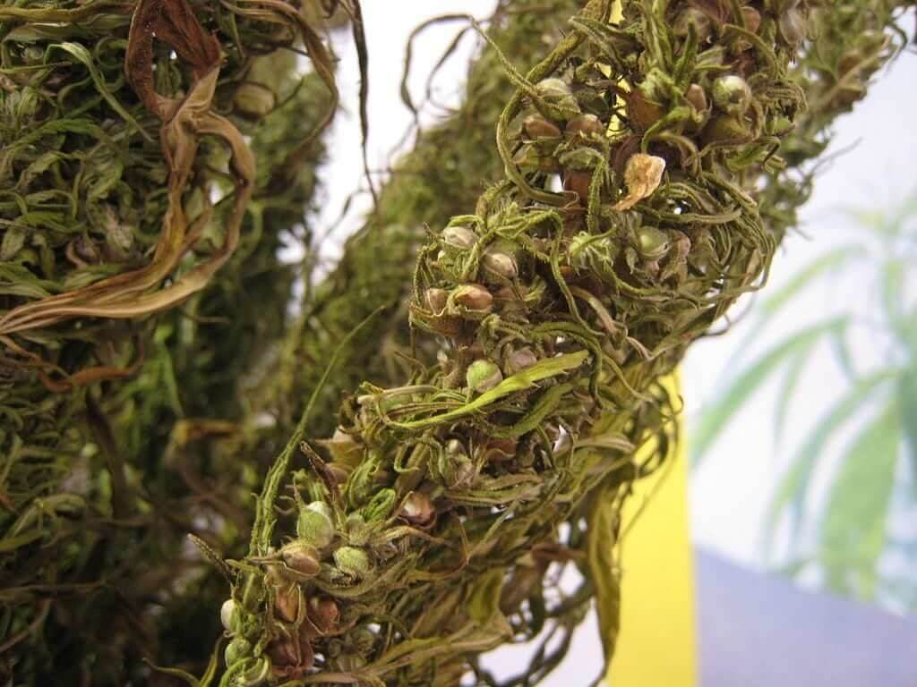 Dried out hemp bud with seeds