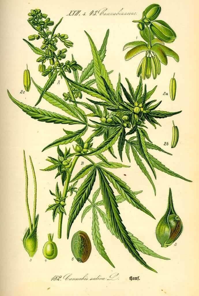 Cannabis sativa botanical illustration