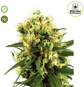 White Haze Auto marijuana - Seedsman