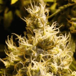 Wonder Woman cannabis - Best bud trimmer machines reviews