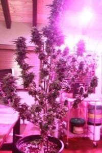 light recipes - LED grow lights - cannabis