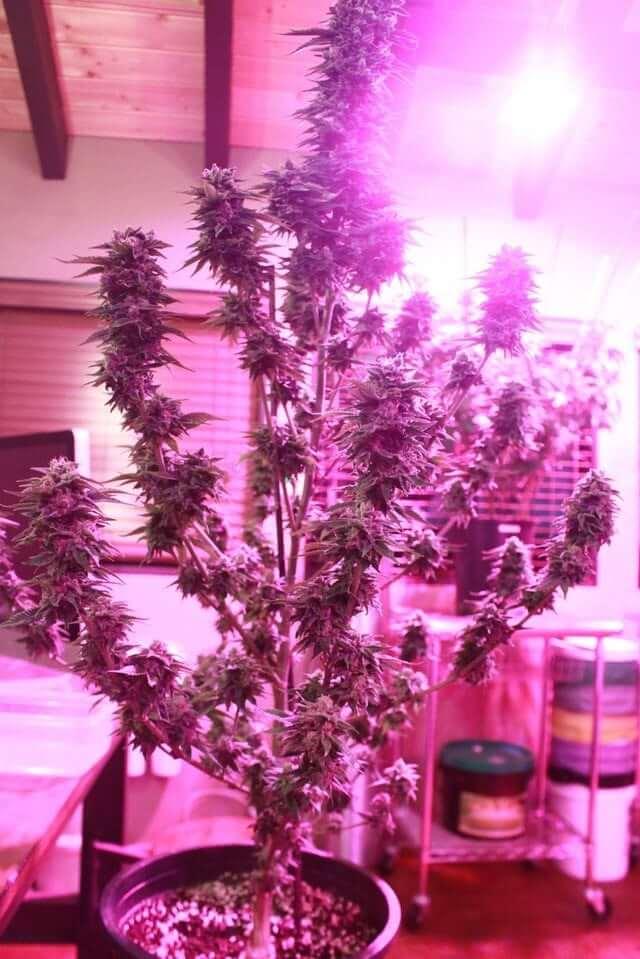Light Recipes Led Grow Lights Cannabis 420 Beginner