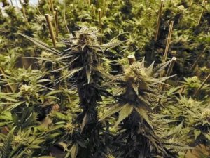 cannabis plants - best full spectrum grow light 2018 Guide & Reviews
