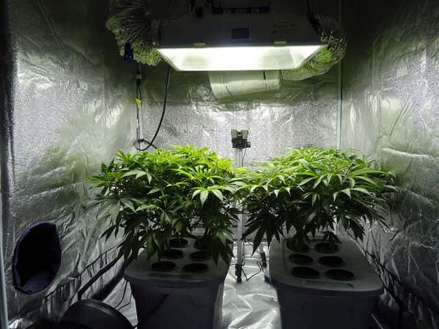 two hydroponically grown cannabis plants