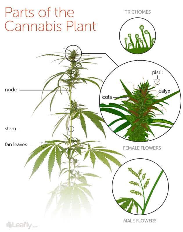 cannabis plant anatomy detail