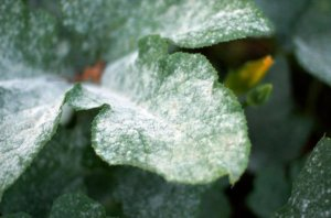 white powdery mildew on pumpkin leaves
