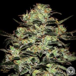 moby dick marijuana strain