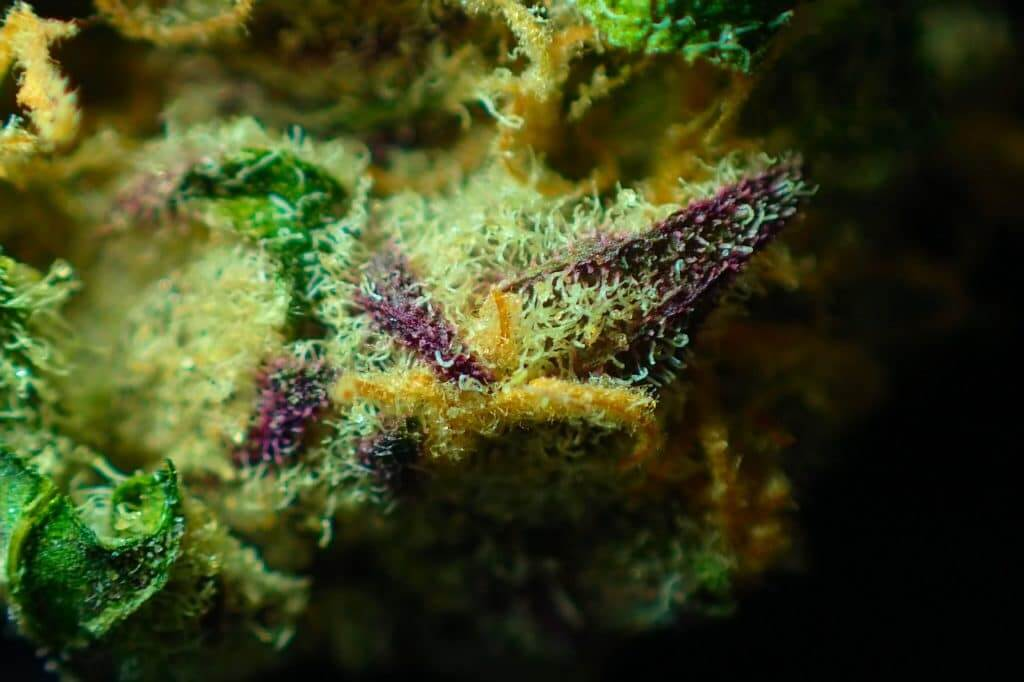 marijuana bud up close