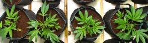 transplanting autoflowers