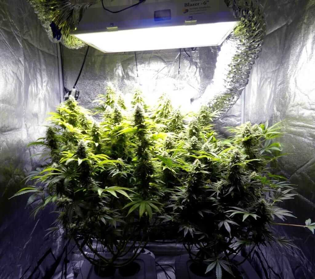autoflowering plants in a grow tent