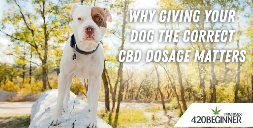 CBD in Texas - Why-Giving-Your-Dog-the-Correct-CBD-Dosage-Matters