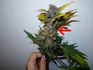 Bud Rot Yellow leaves