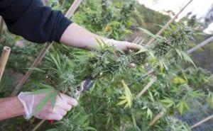 harvesting an indoor pot crop