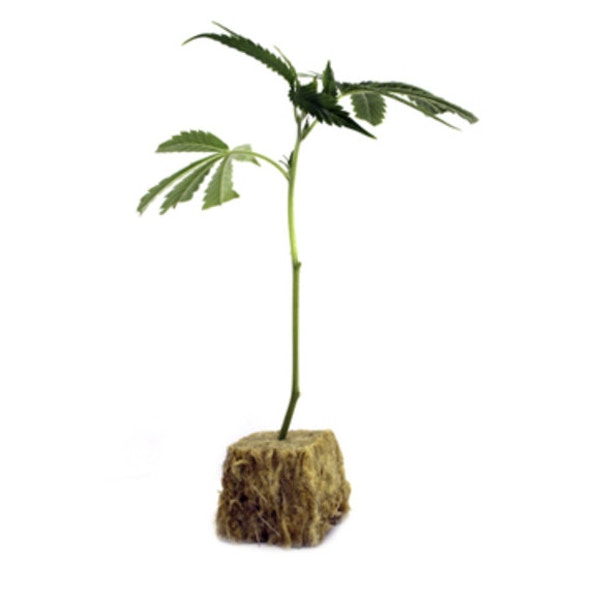 rooted clone in root cube
