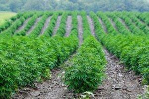 hemp farm in rows